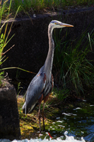 Heron By The Dam by Latrodectus-Pallidus