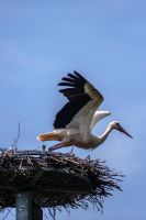 Stork takeoff by MichaWha