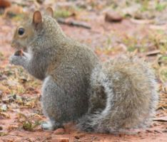 Fat Little Squirrel by Rjet33