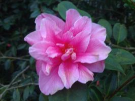 Pink flower by demonlucy