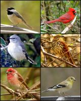 SC Backyard Birds by wylf
