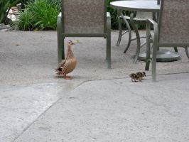 Ducks at the Marriott by OneRadicalDude