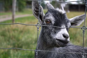 Billy Goat 3 by AllisonDahl