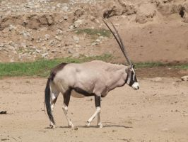 Oryx 2 by photographyflower