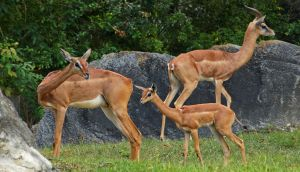 Gerenuk Family by Fail-Avenger