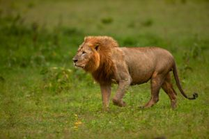 African Lion 68 by catman-suha