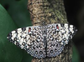 Hamadryas Butterfly by Parides
