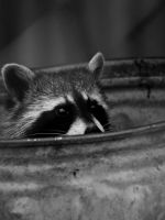 Raccoon - June 10 by mszafran
