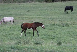 Bay Minimal Overo Foal 5 by How-You-Remind-Me