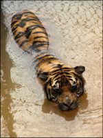 Tiger cooling off by terozi