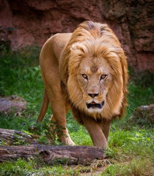 Barbary lion by shoggy