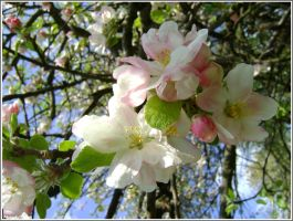 Appletrees flowers by Iuliaq