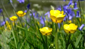 Buttercup Family by DeliriouStudios