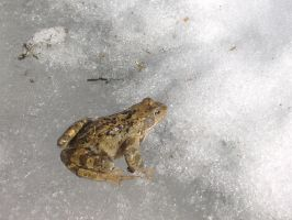 Snowy frog by KiraraLover