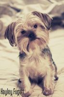 Bruzer the Yorkshire Terrier by photographygrl