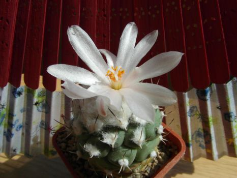 Cactus (Tl) with 1 white flower (14 08m 31) #3 by UAkimov09