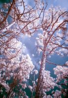 Cotton Candy Trees by saicze