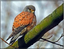 Male Kestrel II by andy-j-s