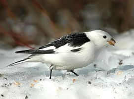 Plectrophenax nivalis I by nordfold