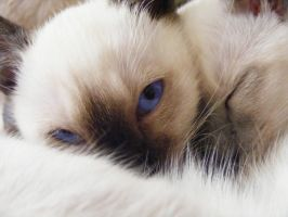Siamese kitty. by eitur-englar