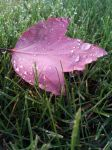 Green Grass Red Leaf Water Drops by MahniAliceSkaggs