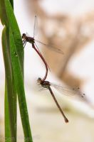 Large Red Damselfly and wife. by aradilon
