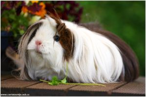 Abigail one of my Guineapigs by Cupcake82