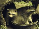 Raccoons by fromthehorizon