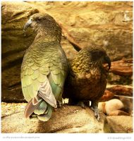 Kea Pair by In-the-picture