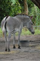 Zebra by JBlue2389