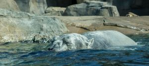 Swimming Polar Bear by TheBirdsFeathers