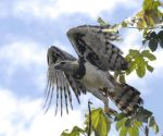 Harpy Eagle in flight. by Ojos-de-Aguila