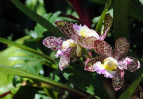 Purple dalmation orchids by fosspathei