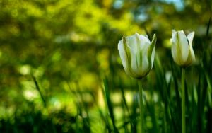 .: white tulips :. by jsz