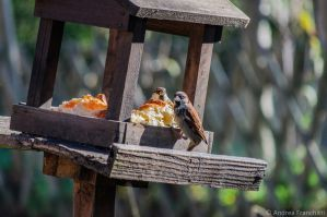 Little sparrows eating brioches by AndreaMetallurgico