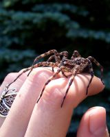 Dolomedes by WeirdBugLady