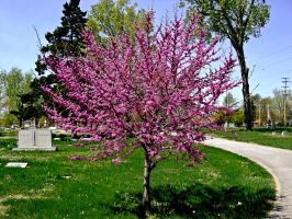 Red Bud Tree I by Baq-Stock