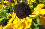Black Eyed Susan by exceedinglyspherical
