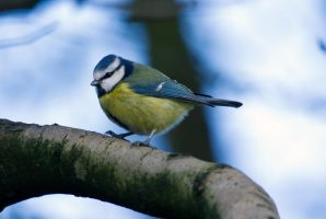 Cute Bluetit by Steve-FraserUK