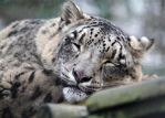 Snow Leopard Snooze by SnowPoring