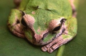 Macro Frog II by greeneyed-gipsy