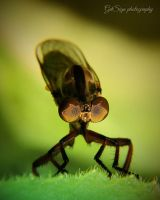 Robberfly by saseart