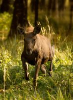 Baby moose by DeingeL