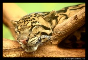 Happy Clouded Leopard by TVD-Photography