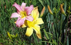 Lilies by cordria