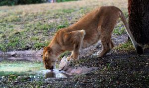 Lioness Drinking by charfade