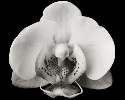 Phalaenopsis Frontal View by danitzh
