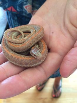 Albino garter by TBV-Girl