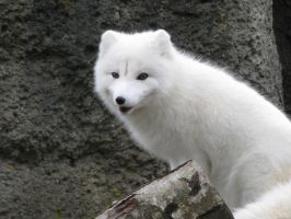 Arctic Fox by infinitshadw