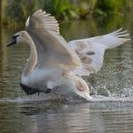 Swans 2014 5 7 by melrissbrook